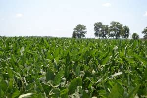 Cash crops more than two-thirds good to excellent