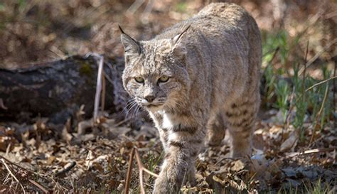 Bobcats in Great Smoky Mountains National Park - My Smoky