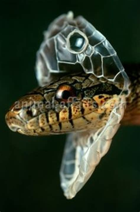 Puff Adder Snake   The Serpent   Pinterest   To be, Africa