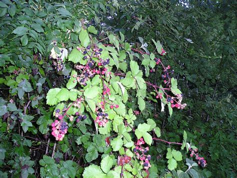 File:Blackberry with fruits2